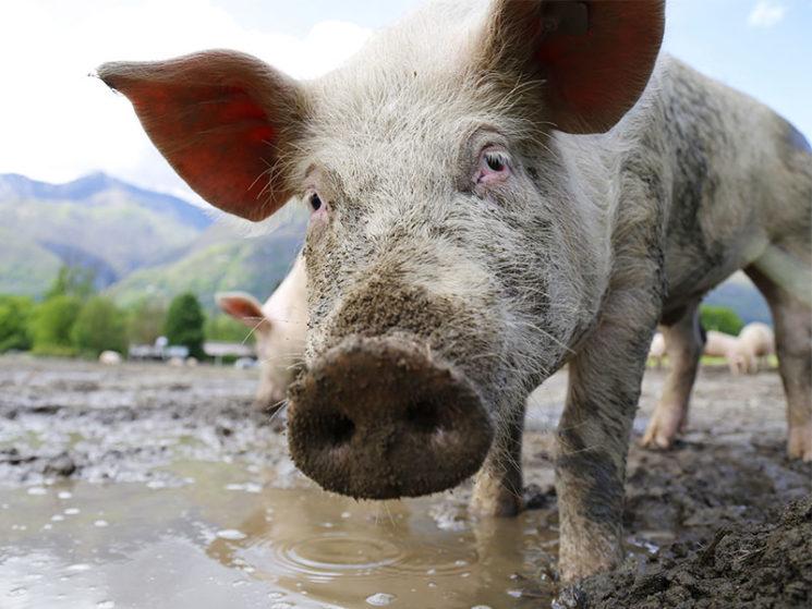 R+V: finanzieller Schutz vor Afrikanischer Schweinepest